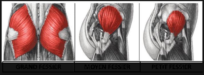 L'anatomie du fessier : le grand fessier, le moyen fessier et le petit fessier